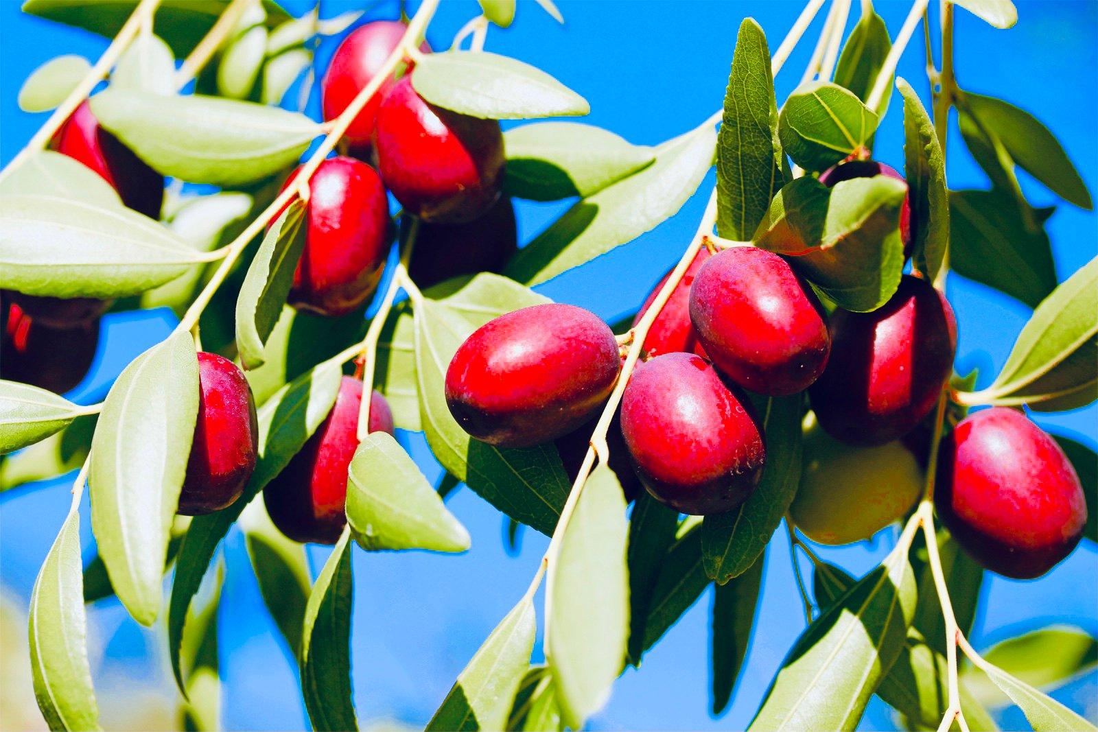 Растение зизифус