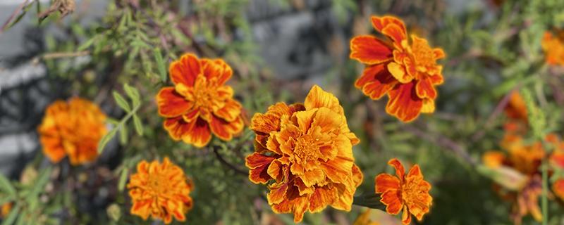 оранжевые бархатцы чернобрывцы