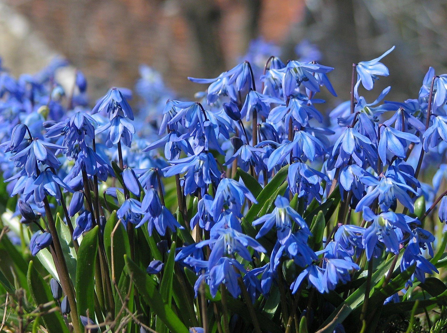 Почвопокровные цветы и кустарники Ковровые цветники
