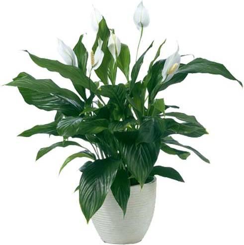 Купить горшечные комнатные цветы минск каталог цены оптом живые цветы ярославль цена