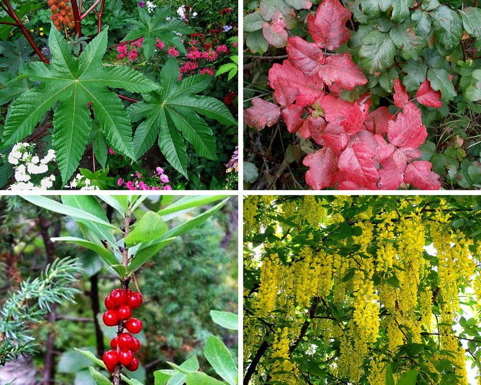 Самые ядовитые растения  24СМИ