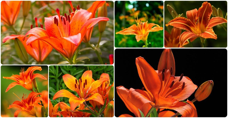 Живых цветов оранжевые лилии букет доставка