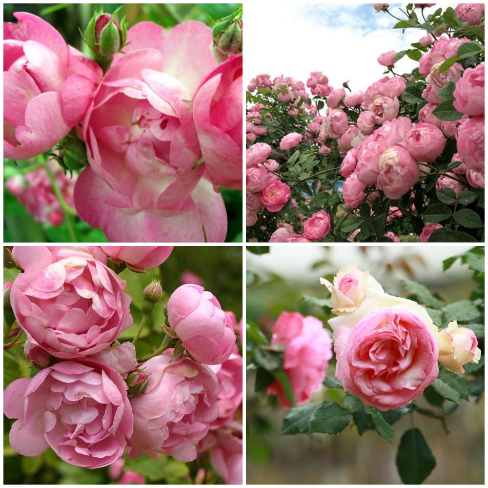 Самый красивый цвет роз