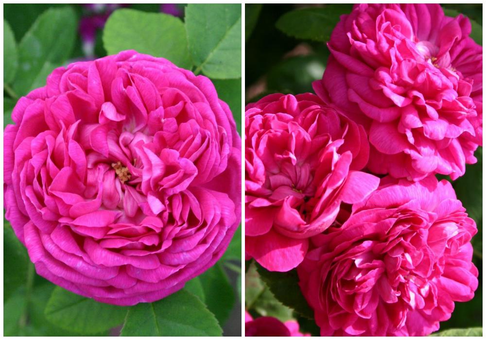 Самые красивые розы фото