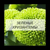 Зеленые хризантемы Новосибирск